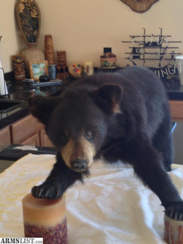3000190_01_black_bear_cub_mount_640.jpg