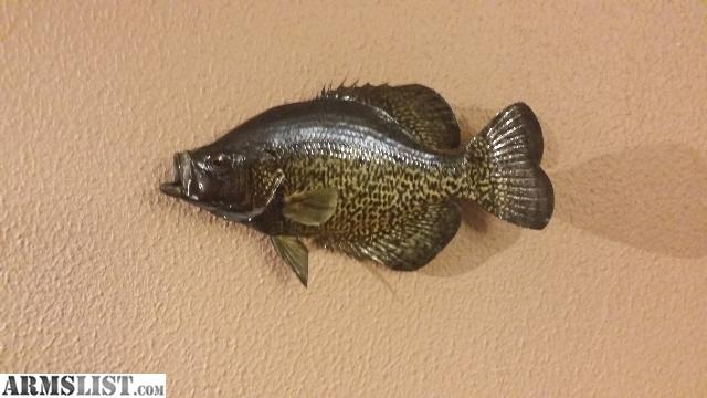 Armslist for sale real fish mounts bass and 2 crappies for Bass fish for sale