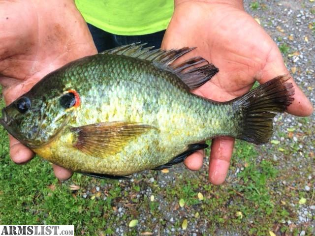 Armslist for sale lake and pond fish for stocking for Pond fish for sale