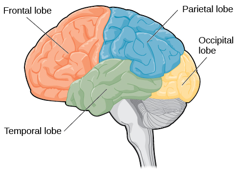 An illustration shows the four lobes of the brain.