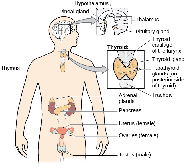A diagram of the human body illustrates the locations of the thymus, several parts within the brain (pineal gland, hypothalamus, thalamus, pituitary gland), several parts within the thyroid (cartilage, thyroid gland, parathyroid glands, trachea), the adrenal glands, pancreas, uterus, ovaries, and testes.