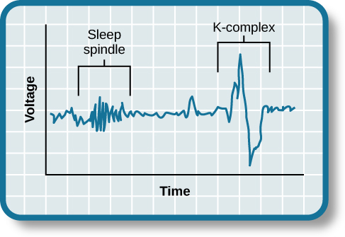"""A graph has an x-axis labeled """"time"""" and a y-axis labeled """"voltage. A line illustrates brainwaves, with two areas labeled """"sleep spindle"""" and """"k-complex"""". The area labeled """"sleep spindle"""" has decreased wavelength and moderately increased amplitude, while the area labeled """"k-complex"""" has significantly high amplitude and longer wavelength."""