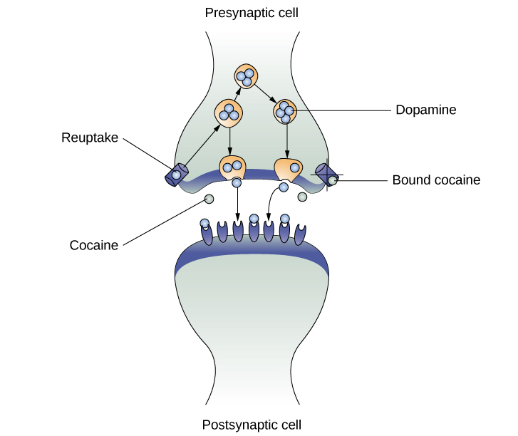 "An illustration of a presynaptic cell and a postsynaptic cell shows these cells' interactions with cocaine and dopamine molecules. The presynaptic cell contains two cylinder-shaped channels, one on each side near where it faces the postsynaptic cell. The postsynaptic cell contains several receptors, side-by-side across the area that faces the presynaptic cell. In the space between the two cells, there are both cocaine and dopamine molecules. One of the cocaine molecules attaches to one of the presynaptic cell's channels. This cocaine molecule is labeled ""bound cocaine."" An X-shape is shown over the top of the bound cocaine and the channel to indicate that the cocaine does not enter the presynaptic cell. A dopamine molecule is shown inside of the presynaptic cell's other channel. Arrows connect this dopamine molecule to several others inside of the presynaptic cell. More arrows connect to more dopamine molecules, tracing their paths from the channel into the presynaptic cell, and out into the space between the presynaptic cell and the postsynaptic cell. Arrows extend from two of the dopamine molecules in this in-between space to the postsynaptic cell's receptors. Only the dopamine molecules are shown binding to the postsynaptic cell's receptors."