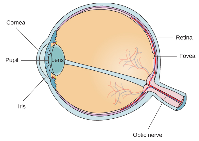 Different parts of the eye are labeled in this illustration. The cornea, pupil, iris, and lens are situated toward the front of the eye, and at the back are the optic nerve, fovea, and retina.