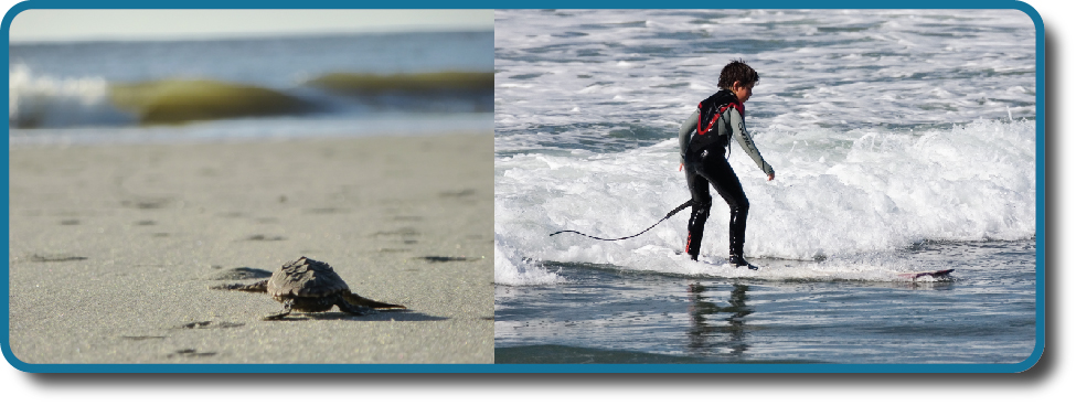 A photograph shows a baby turtle moving across sand toward the ocean. A photograph shows a young child standing on a surfboard in a small wave.