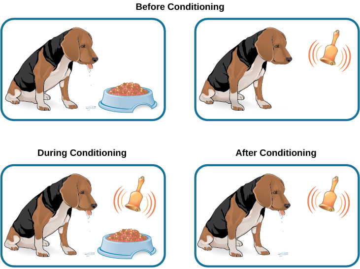 "Two illustrations are labeled ""before conditioning"" and show a dog salivating over a dish of food, and a dog not salivating while a bell is rung. An illustration labeled ""during conditioning"" shows a dog salivating over a bowl of food while a bell is rung. An illustration labeled ""after conditioning"" shows a dog salivating while a bell is rung."