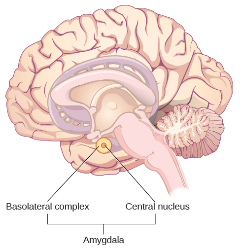 "An illustration of the brain labels the locations of the ""basolateral complex"" and ""central nucleus"" within the ""amygdala."""