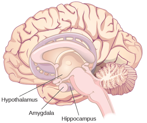 "An illustration of the brain labels the locations of the ""hypothalamus,"" ""amygdala,"" and ""hippocampus."""