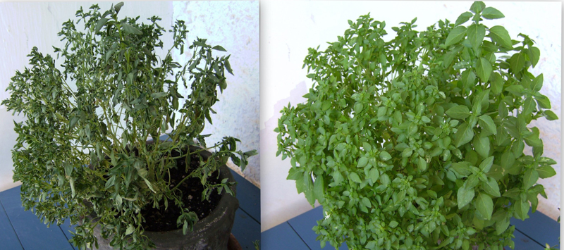 The left photo shows a plant that has wilted, and the right photo shows a healthy plant.