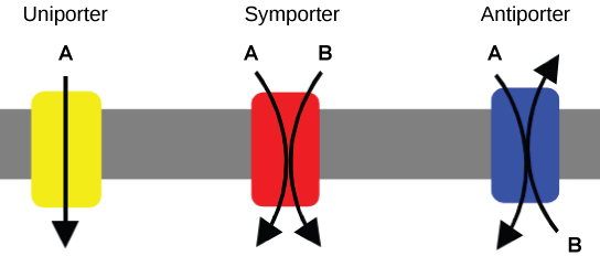 This illustration shows a plasma membrane with three transport proteins embedded in it. The left image shows a uniporter that transports a substance in one direction. The middle image shows a symporter that transports two different substances in the same direction. The right image shows an antiporter that transports two different substances in opposite directions.