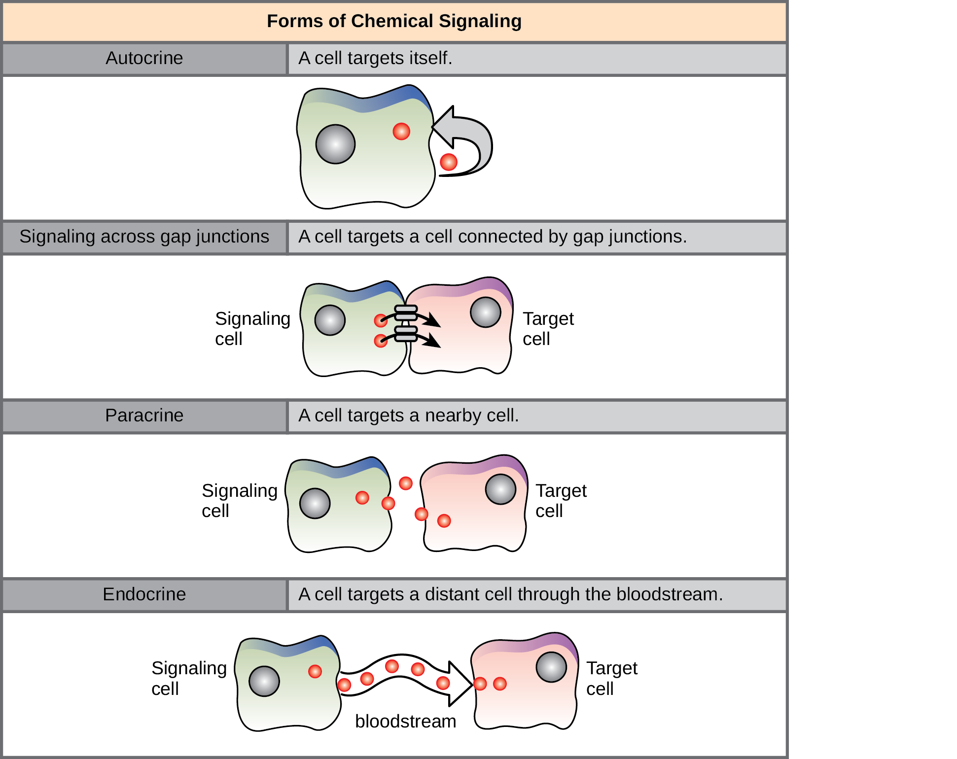 The illustration shows four forms of chemical signaling. In autocrine signaling, a cell targets itself. In signaling across a gap junction, a cell targets a cell connected via gap junctions. In paracrine signaling, a cell targets a nearby cell. In endocrine signaling, a cell targets a distant cell via the bloodstream