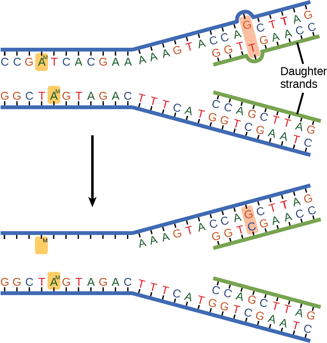 The top illustration shows a replicated DNA strand with G-T base mismatch. The bottom illustration shows the repaired DNA, which has the correct G-C base pairing.