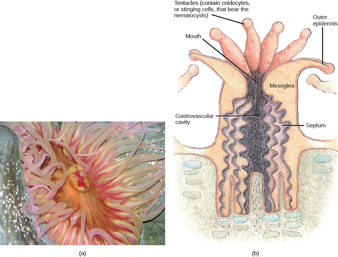 Part a shows a photo of a sea anemone with a pink, oval body surrounded by thick, waving tentacles. Part b shows a cross-section of a sea anemone, which has a tube-shaped body with an opening called a gastrovascular cavity at its center. Ribbon-like septa divide this cavity into segments. A mesogleal layer separates the inner surface of the anemone from the outer surface. A mouth is located at the top of the gastrovascular cavity. Tentacles that contain stinging cnidocytes surround the mouth.