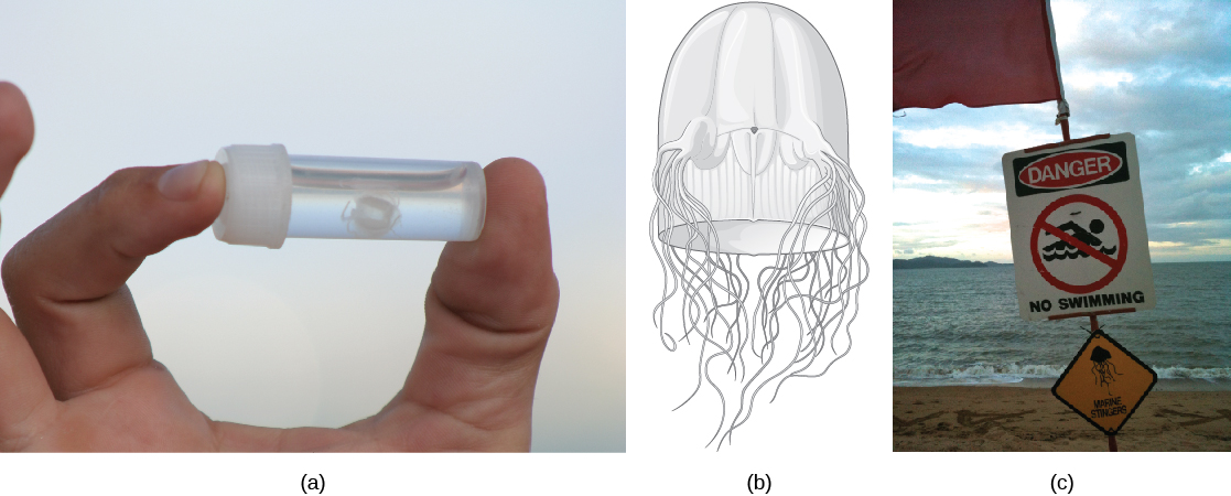 """Photo A shows a person holding a small vial with a white jelly inside. The jelly is no bigger than a human fingernail. Illustration B shows a thimble-shaped jelly with two thick protrusions visible on either side. Tentacles radiate from the protrusions, and more tentacles radiate from the back. Photo C shows a """"Danger, no swimming"""" sign on a beach, with a picture of a jelly."""