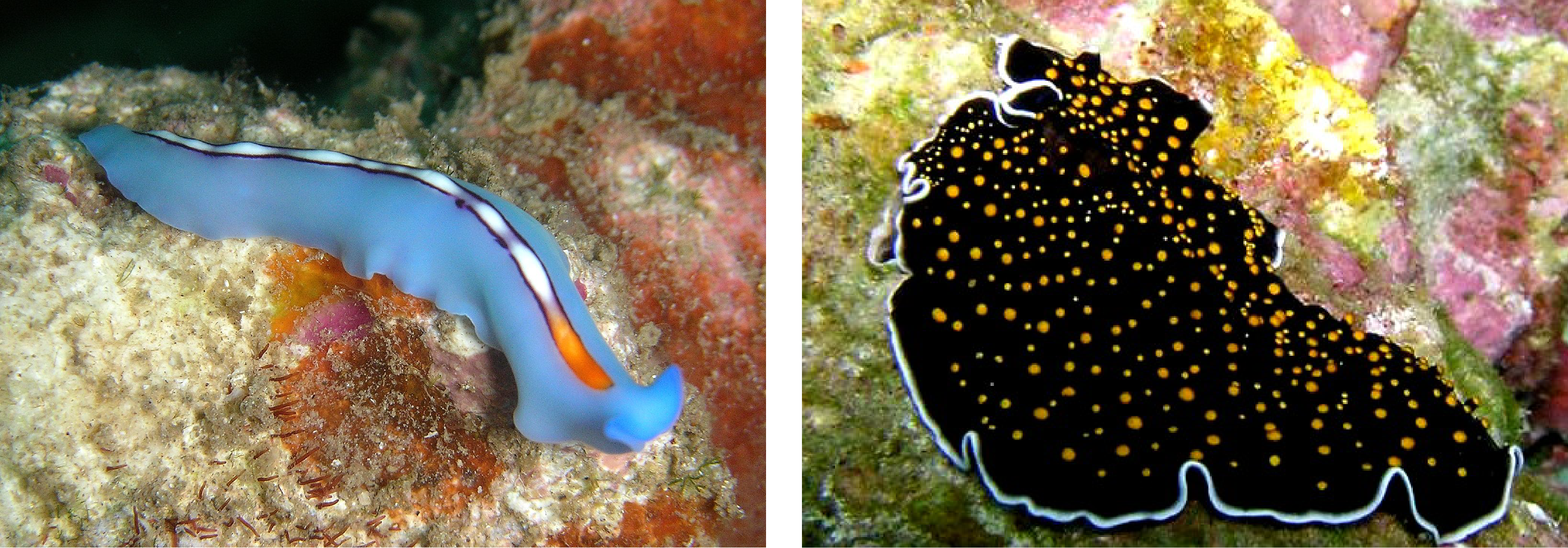 This image shows two flatworms with significant physical diversity.