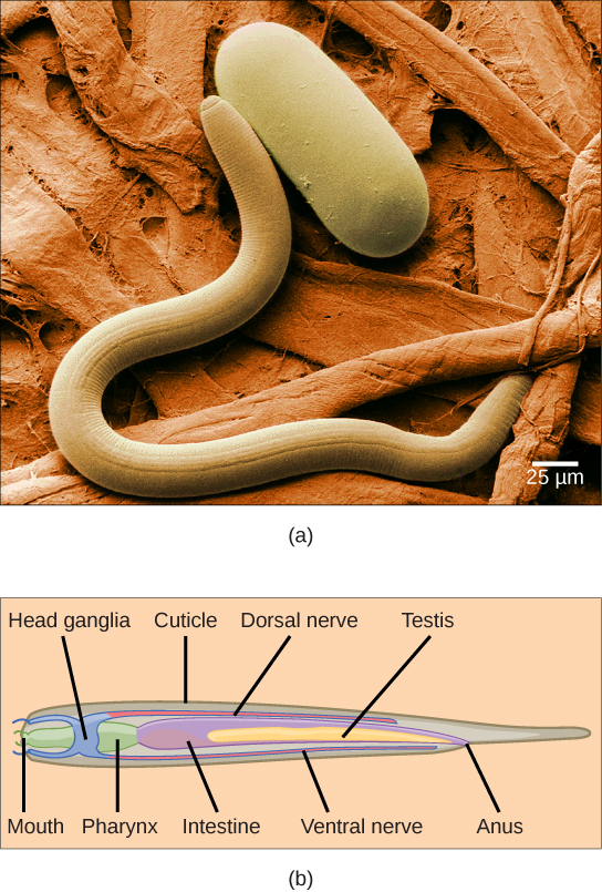 Photo a shows a worm-shaped nematode next to a capsule-shaped nematode egg. The illustration in part b shows a cross-section of a nematode, which has a mouth at one end and an anus at the other. The mouth connects to a pharynx, then to an intestine. A dorsal nerve runs along the top of the animal and joins ring-like head ganglia at the front end. Testes run alongside the intestine toward the back of the animal.