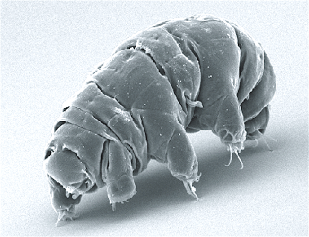 "The image displays an electron micrgraph of a ""water bear"" or tardigrade."