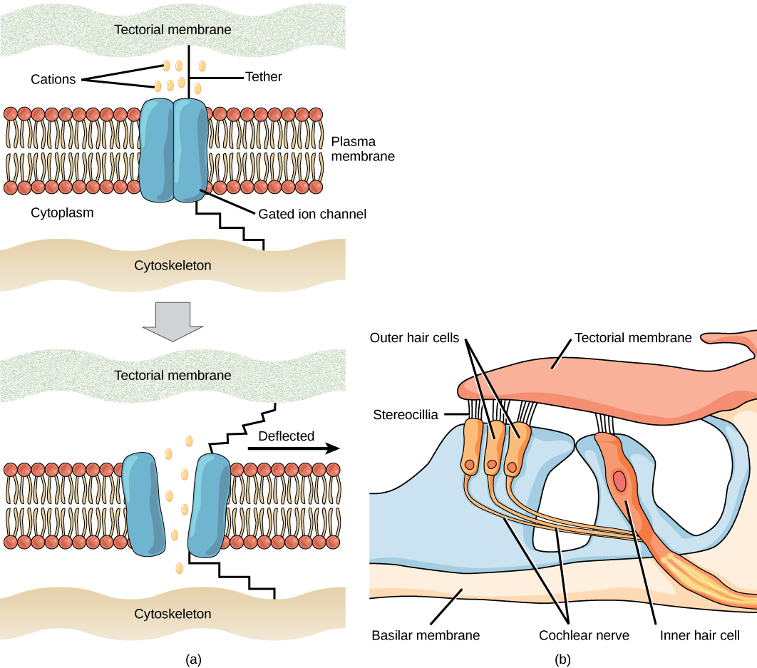 Illustration A shows a closed gated ion channel embedded in the plasma membrane. A hair-like tether connects the channel to the extracellular matrix outside the cell, and another tether connects the channel to the inner cytoskeleton. When the extracellular matrix is deflected, the tether tugs on the gated ion channel, pulling it open. Ions may now enter or exit the cell. Illustration B shows stereocilia, hair-like projections on outer hair cells that attached to the tectorial membrane of the inner ear. The outer hair cells are connected to the cochlear nerve.