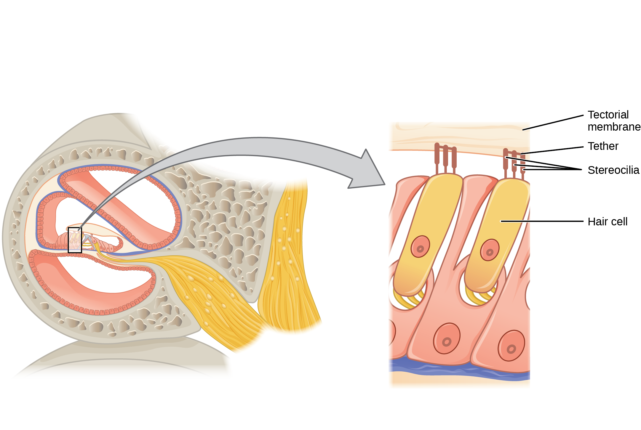 This diagram shows the structure of the hair cell. The right panel shows a magnified view of the hair cell. The hair cell is a mechanoreceptor with an array of stereocilia emerging from its apical surface. The stereocilia are tethered together by proteins that open ion channels when the array is bent toward the tallest member of their array, and closed when the array is bent toward the shortest member of their array.