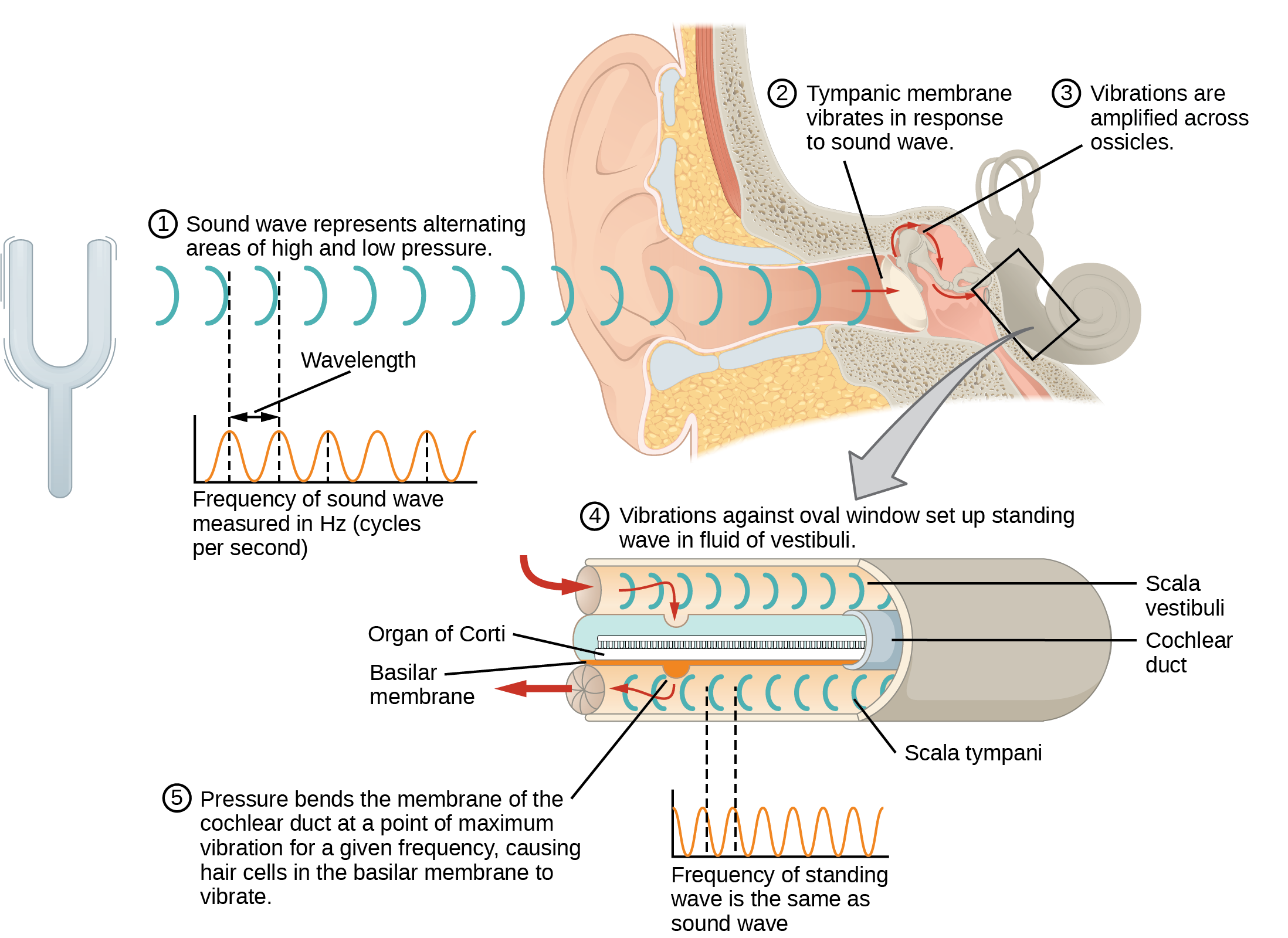 This diagram shows how sound waves travel through the ear, and each step details the process. A sound wave causes the tympanic membrane to vibrate. This vibration is amplified as it moves across the malleus, incus, and stapes. The amplified vibration is picked up by the oval window causing pressure waves in the fluid of the scala vestibuli and scala tympani. The complexity of the pressure waves is determined by the changes in amplitude and frequency of the sound waves entering the ear.