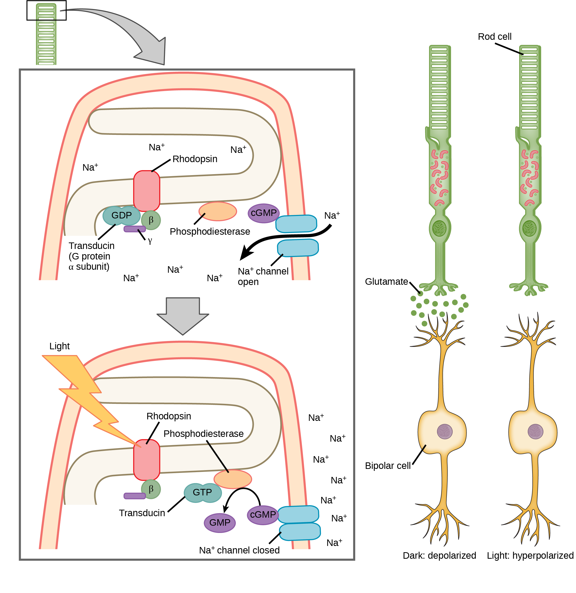 Illustration A shows the signal transduction pathway for rhodopsin, which is located in internal membranes at the top of rod cells. When light strikes rhodopsin, a G protein called transducing is activated. Transducin has three subunits, alpha, beta and gamma. Upon activation, GDP on the alpha subunit is replaced with GTP. The subunit dissociates, and binds phosphodiesterase. Phosphodiesterase, in turn, converts cGMP to GMP, which closes sodium ion channels. As a result, sodium can no longer enter the cell, and the membrane becomes hyperpolarized. Illustration b shows that the tall, thin rod cell is stacked on top of a bipolar nerve cell. In the dark the membrane is depolarized, and glutamate is released from the rod cell to the axon terminal of the bipolar cell. In the light, no glutamate is released.