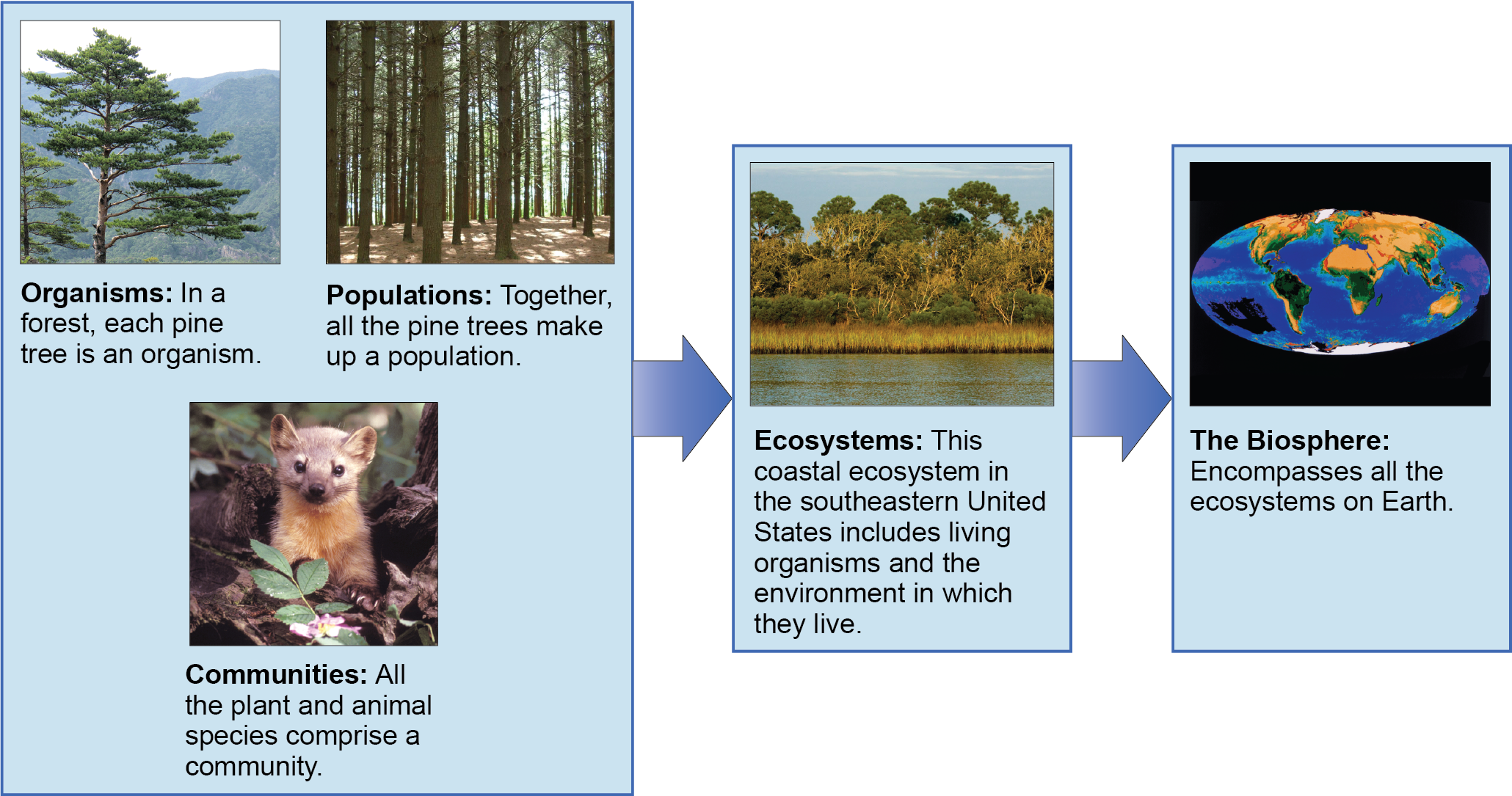 "A flow chart of three sections shows the hierarchy of living organisms. The top box inludes Organisms, populations, and communities"" and has three photographs: A single tree for organisms, a photograph of tall trees in a forest for populations, and an image of an animal among the trees for communities. The second box is labeled ""ecosystems"" and has a photograph of a body of water, behind which is a stand of tall grasses developing into more dense vegetation and trees as distance from the water increases. The third box is labeled ""the biosphere"" and shows a drawing of planet Earth."