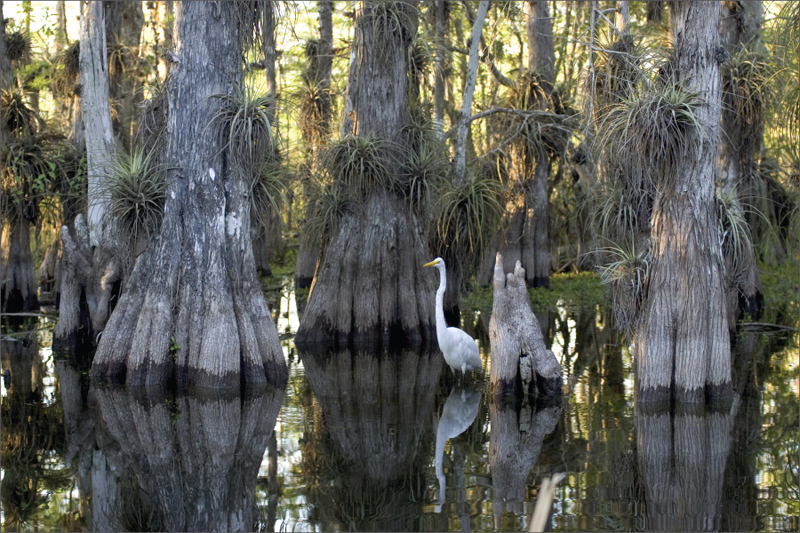 This photo shows mangrove trees growing in black water. The trunks of the mangroves widen and split toward the bottom. A white bird stands in the water among the trees.