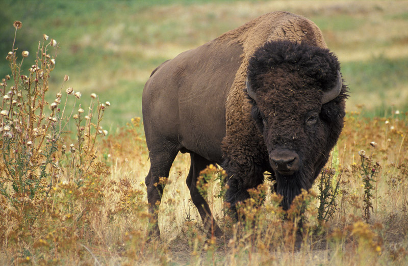 This photo shows a bison, which is dark brown in color with an even darker head. The hind part of the animal has short fur, and the front of the animal has longer, curly fur.