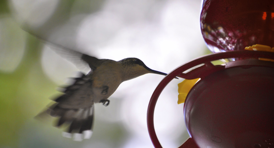 In this photo, a hummingbird drinks from a feeder.