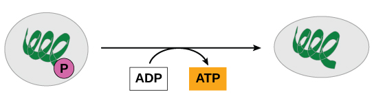 This illustration shows a substrate-level phosphorylation reaction in which the gamma phosphate of ATP is attached to a protein.