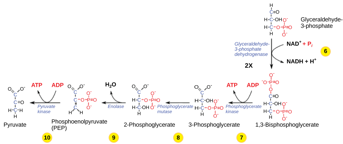 This illustration shows the steps in the second half of glycolysis. In step six, the enzyme glyceraldehydes-3-phosphate dehydrogenase produces one NADH molecule and forms 1,3-bisphosphoglycerate. In step seven, the enzyme phosphoglycerate kinase removes a phosphate group from the substrate, forming one ATP molecule and 3-phosphoglycerate. In step eight, the enzyme phosphoglycerate mutase rearranges the substrate to form 2-phosphoglycerate. In step nine, the enzyme enolase rearranges the substrate to form phosphoenolpyruvate. In step ten, a phosphate group is removed from the substrate, forming one ATP molecule and pyruvate.