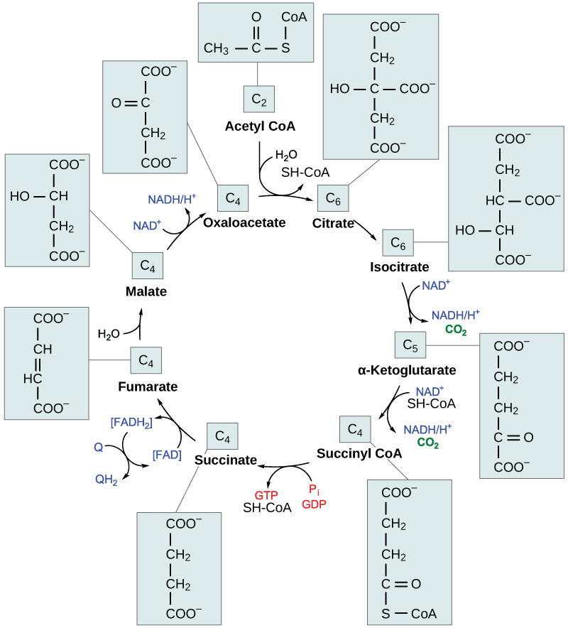 This illustration shows the eight steps of the citric acid cycle. In the first step, the acetyl group from acetyl CoA is transferred to a four-carbon oxaloacetate molecule to form a six-carbon citrate molecule. In the second step, citrate is rearranged to form isocitrate. In the third step, isocitrate is oxidized to α-ketoglutarate. In the process, one NADH is formed from NAD^{+} and one carbon dioxide is released. In the fourth step, α-ketoglutarate is oxidized and CoA is added, forming succinyl CoA. In the process, another NADH is formed and another carbon dioxide is released. In the fifth step, CoA is released from succinyl CoA, forming succinate. In the process, one GTP is formed, which is later converted into ATP. In the sixth step, succinate is oxidized to fumarate, and one FAD is reduced to FADH_{2}. In the seventh step, fumarate is converted into malate. In the eighth step, malate is oxidized to oxaloacetate, and another NADH is formed.