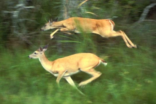 A photo shows deer running through tall grass beside a forest.
