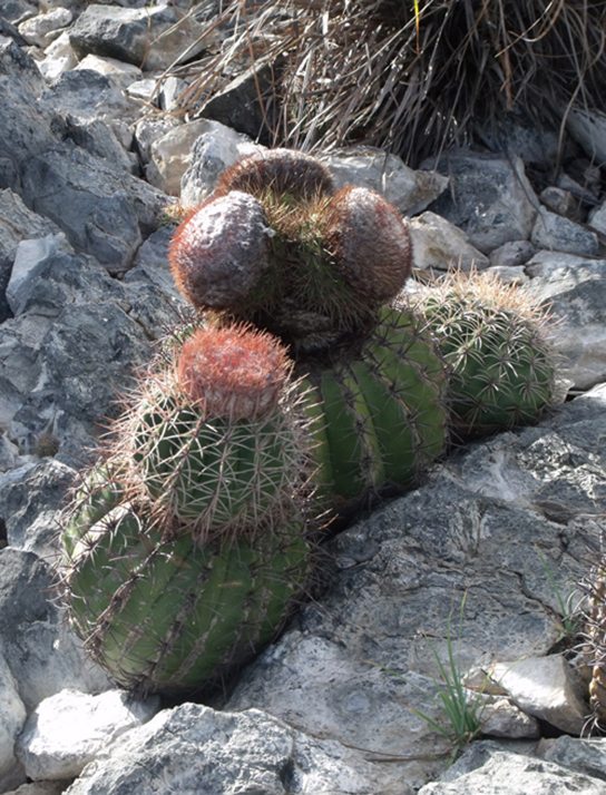 This photo shows short, round prickly cacti growing in cracks in a rock.