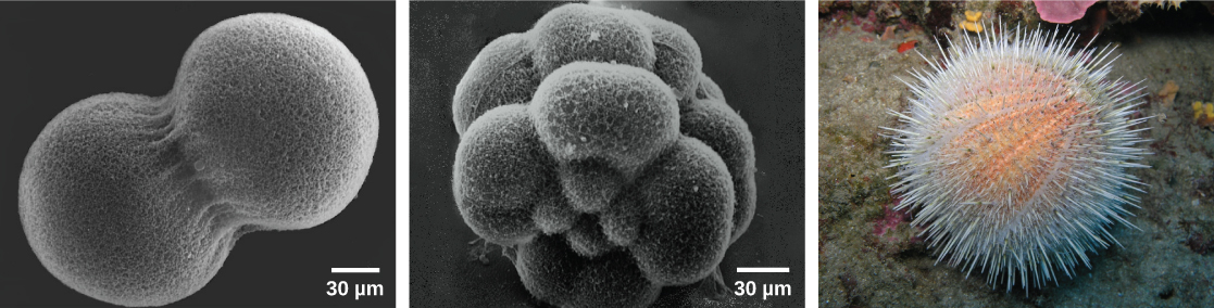 """Image A shows two conjoined cells forming a dumbbell shape; the fertilization envelope has been removed so that the mesh-like outer layer can be seen. Image B shows the sea urchin embryo when it has divided into 16 conjoined cells; the overall shape is rounder than in image A. Image C shows a """"water melon"""" sea urchin which appears as a peach-colored ball covered in white protruding spines."""