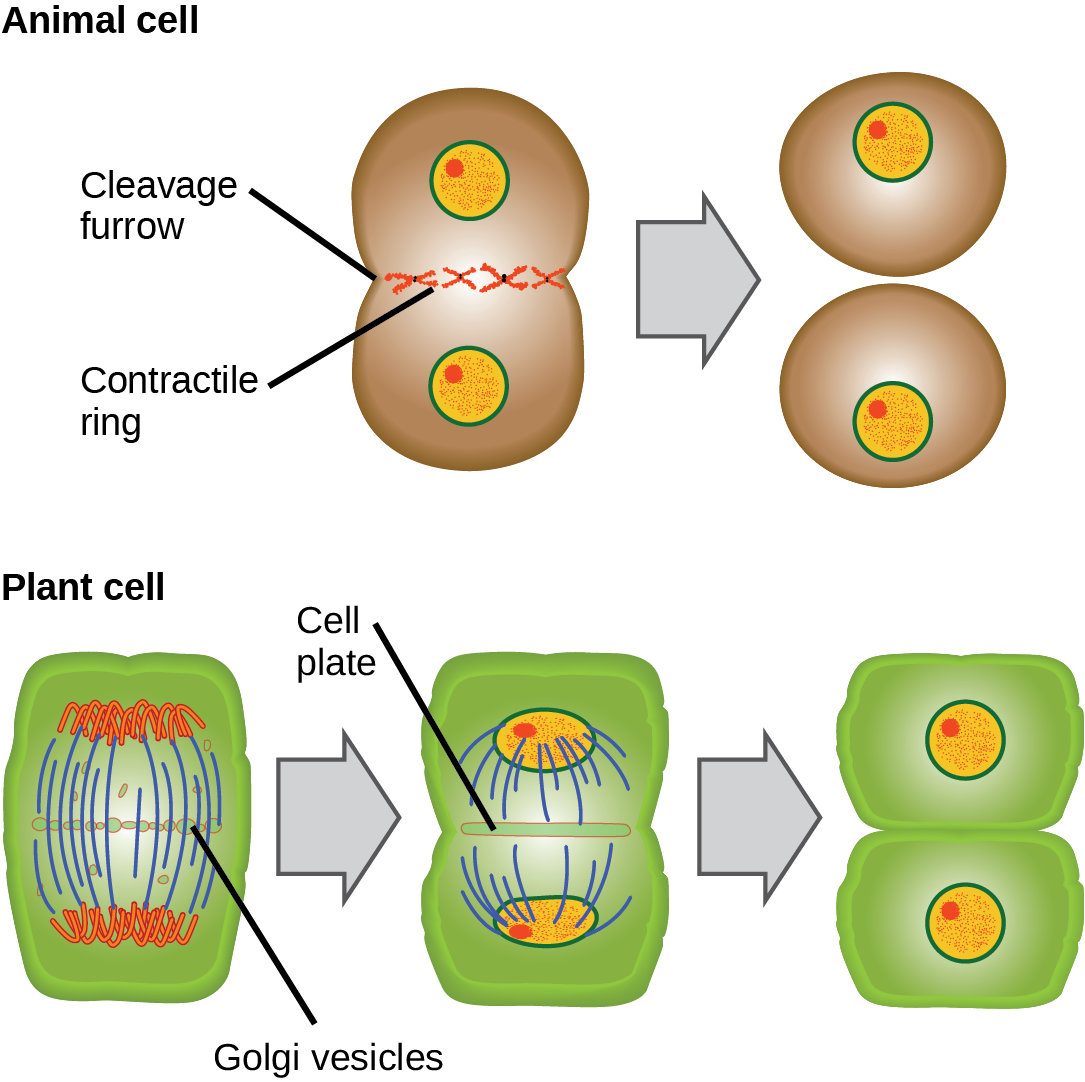 Part a: This illustration shows cytokinesis in a typical animal cell. Part b: Cytokinesis is shown in a typical plant cell. In an animal cell, a contractile ring of actin filaments forms a cleavage furrow that divides the cell in two. In a plant cell, Golgi vesicles coalesce at the metaphase plate. A cell plate grows from the center outward, and the vesicles form a plasma membrane that divides the cytoplasm.