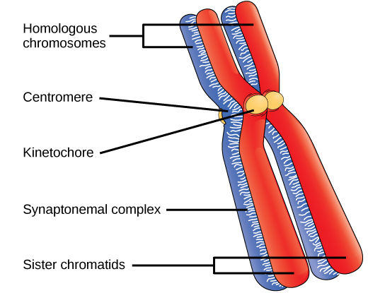 This illustration depicts two pairs of sister chromatids joined together to form homologous chromosomes. The chromatids are pinched together at the centromere and held together by the kinetochore. A protein lattice called a synaptonemal complex fuses the homologous chromosomes together along their entire length.