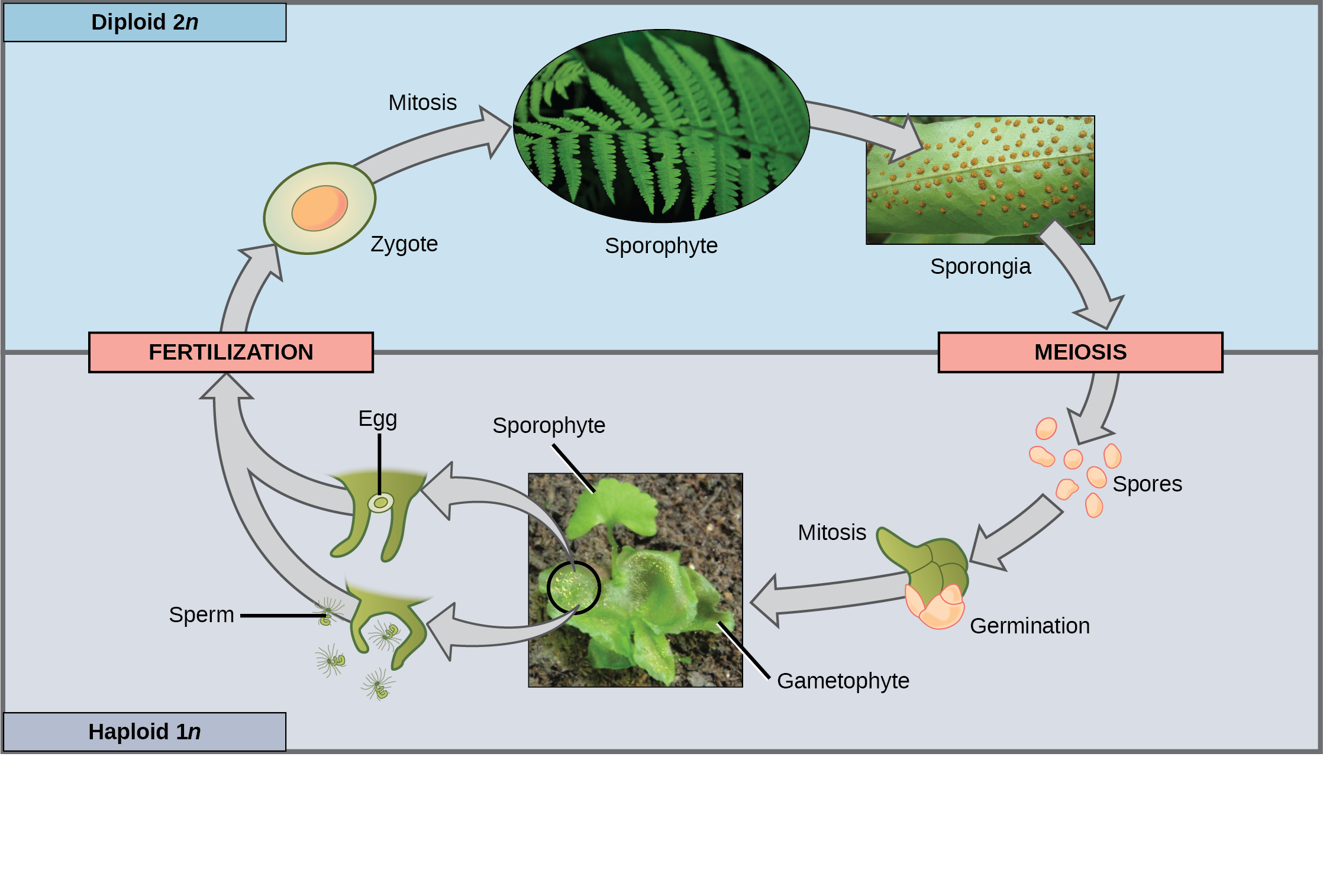 This illustration shows the life cycle of fern plants. The diploid (2n) zygote undergoes mitosis to produce the sphorophyte, which is the familiar, leafy plant. Sporangia form on the underside of the leaves of the sphorophyte. Sporangia undergo meiosis to form haploid (1n) spores. The spores germinate and undergo mitosis to form a multicellular, leafy gametophyte. The gametophyte produces eggs and sperm. Upon fertilization, the egg and sperm form a diploid zygote.