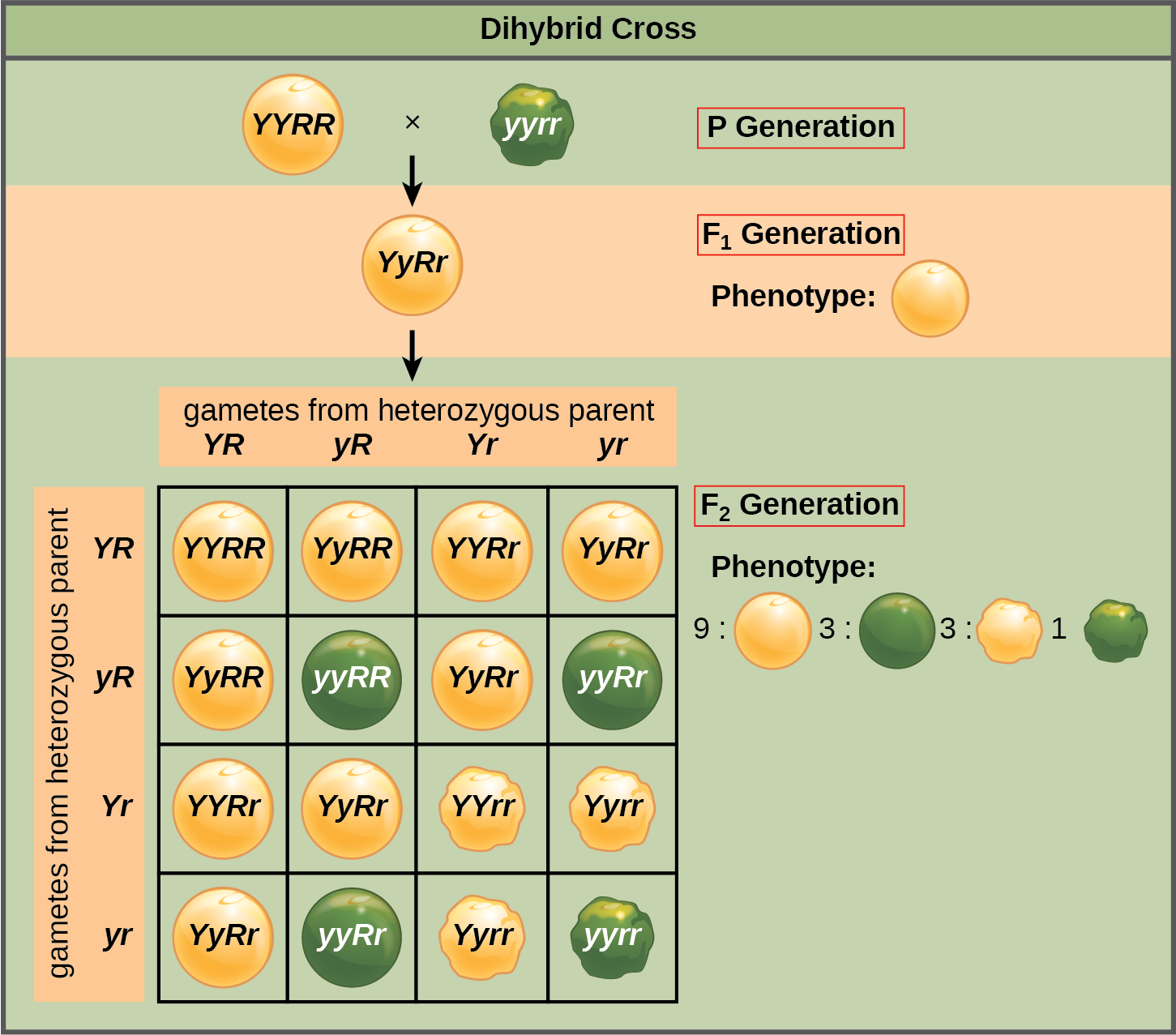 This illustration shows a dihybrid cross between pea plants. In the P generation, a plant that has the homozygous dominant phenotype of round, yellow peas is crossed with a plant with the homozygous recessive phenotype of wrinkled, green peas. The resulting F_{1} offspring have a heterozygous genotype and round, yellow peas. Self-pollination of the F_{1} generation results in F_{2} offspring with a phenotypic ratio of 9:3:3:1 for yellow round, green round, yellow wrinkled and green wrinkled peas, respectively.