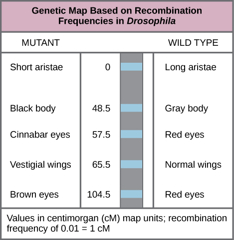 The illustration shows a Drosophila genetic map. The gene for aristae length occurs at 0 centimorgans, or cM. The gene for body color occurs at 48.5 cM. The gene for red versus cinnabar eye color occurs at 57.5 cM. The gene for wing length occurs at 65.5 cM, and the gene for red versus brown eye color occurs at 104.5 cM. One cM is equivalent to a recombination frequency of 0.01.