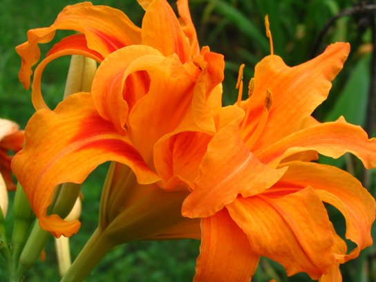Photo shows an orange daylily