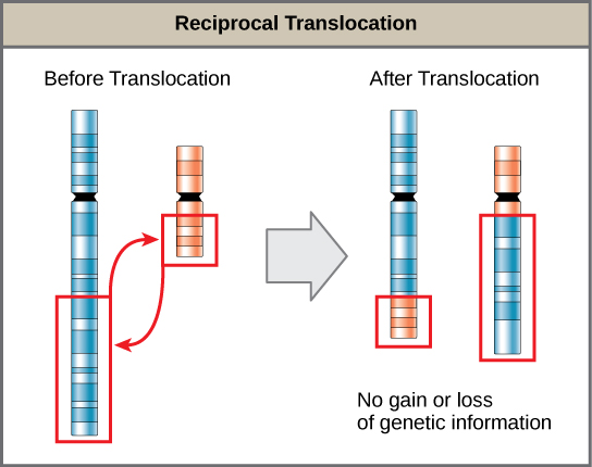 Illustration shows a reciprocal translocation in which DNA is transferred from one chromosome to another. No genetic information is gained or lost in the process.
