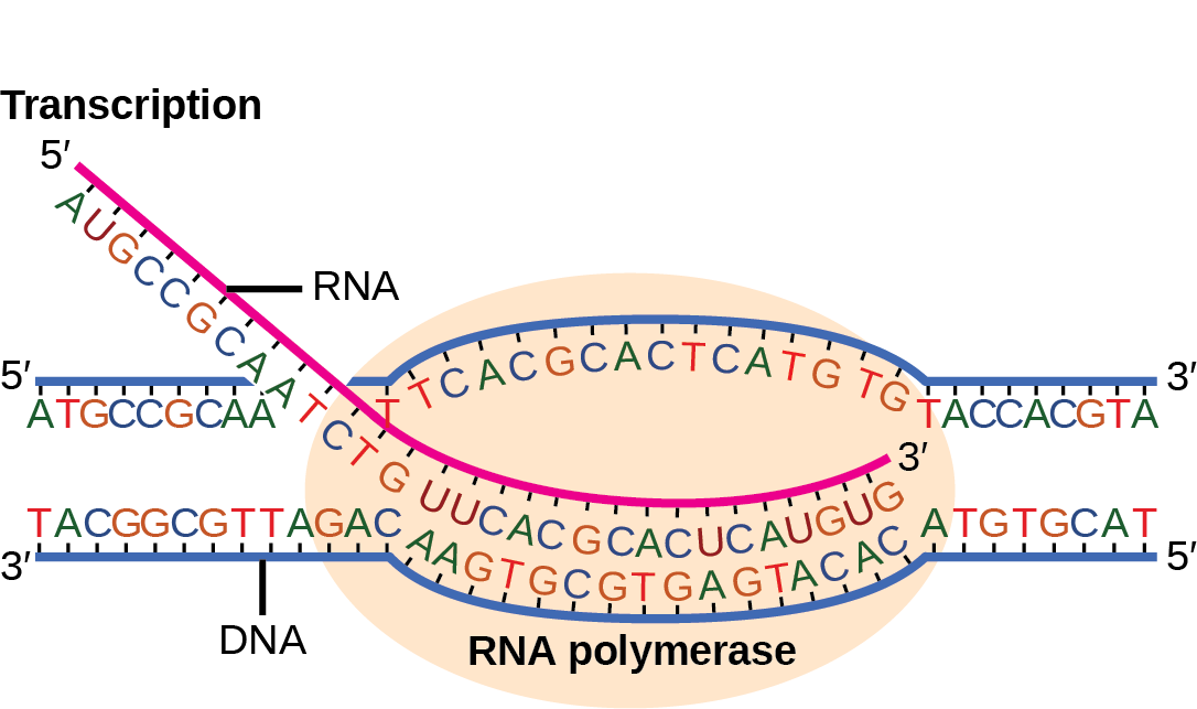 Illustration shows RNA synthesis by RNA polymerase. The RNA strand is synthesized in the 5' to 3' direction.