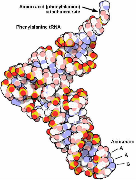 The molecular model of phenylalanine tRNA is L-shaped. At one end is the anticodon AAG. At the other end is the attachment site for the amino acid phenylalanine