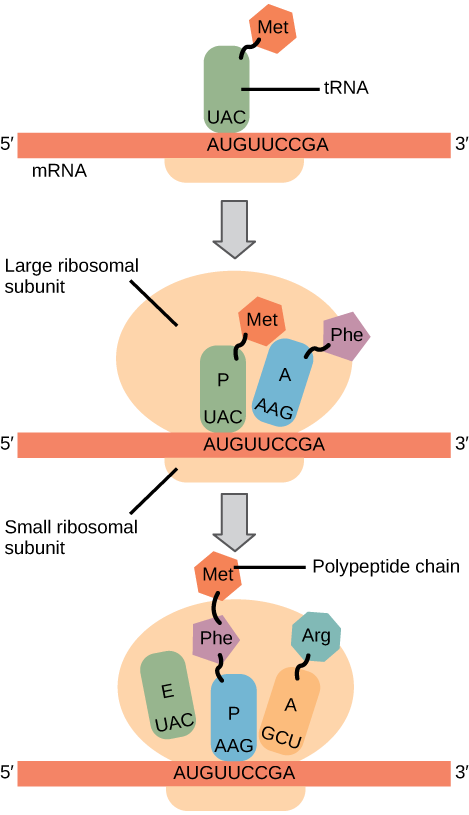 Illustration shows the steps of protein synthesis. First, the initiator tRNA recognizes the sequence AUG on an mRNA that is associated with the small ribosomal subunit. The large subunit then joins the complex. Next, a second tRNA is recruited at the A site. A peptide bond is formed between the first amino acid, which is at the P site, and the second amino acid, which is at the A site. The mRNA then shifts and the first tRNA is moved to the E site, where it dissociates from the ribosome. Another tRNA binds at the A site, and the process is repeated.