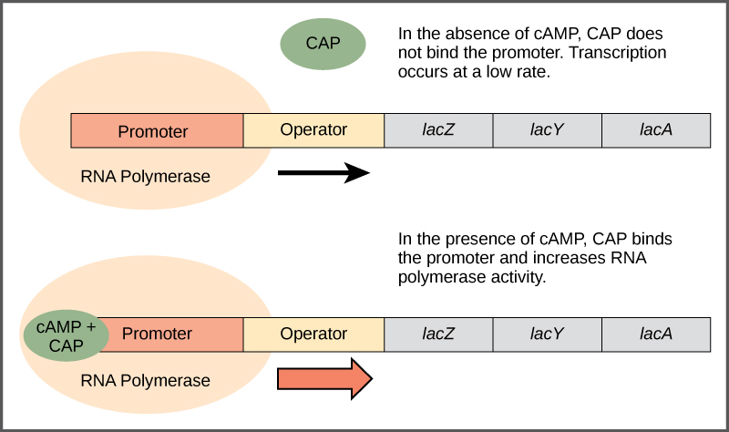The lac operon consists of a promoter, an operator, and three genes named lacZ, lacY, and lacA that are located in sequential order on the DNA. In the absence of cAMP, the CAP protein does not bind the DNA. RNA polymerase binds the promoter, and transcription occurs at a slow rate. In the presence of cAMP, a CAP–cAMP complex binds to the promoter and increases RNA polymerase activity. As a result, the rate of RNA synthesis is increased.