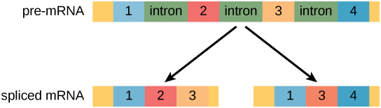 A pre-mRNA has four exons separated by three introns. The pre-mRNA can be alternatively spliced to create two different proteins, each with three exons. One protein contains exons one, two, and three. The other protein contains exons one, three and four.