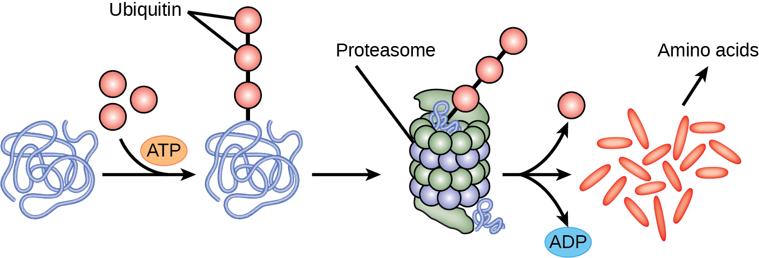 Multiple ubiquitin groups combine to bind to a protein. The tagged protein is then fed into the hollow tube of a proteasome. The proteasome degrades the protein. This produces ADP and amino acids, and the ubiquitin is also released.
