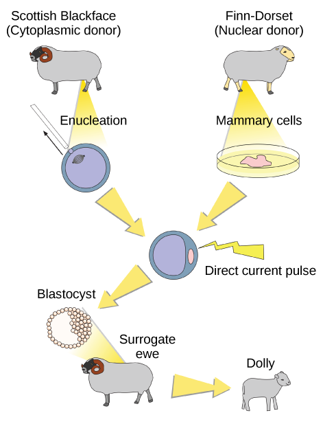 To clone Dolly the sheep, a Scottish Blackface sheep was used as a cytoplasmic donor. Eggs from this sheep were extracted, and the nucleus removed. A Finn-Dorset sheep was used as the nuclear donor. Nuclei were extracted from mammary cells, and direct electric current was used to fuse the nuclear DNA with the donor egg. The egg was then allowed to divide to the blastocyst stage, in which a sphere of cells contains a cluster of cells on one side. The blastocyst was implanted in a surrogate mother, resulting in Dolly the sheep.