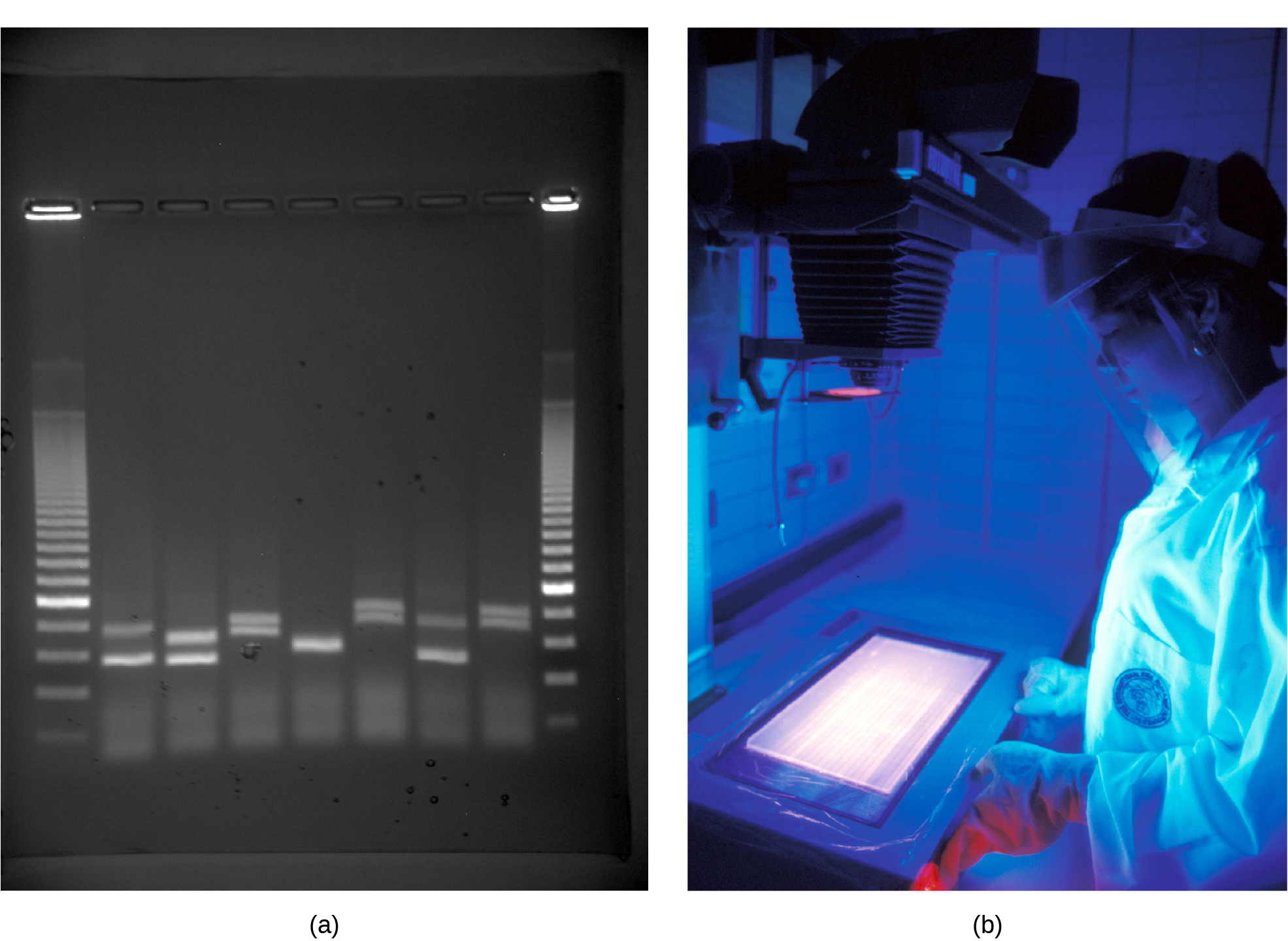 Photo shows an agarose gel illuminated under UV light. The gel contains nine lanes from left to right. Each lane was loaded with a sample containing DNA fragments of differing size that separated as they travelled through the gel from top to bottom. The DNA appears as thin, white bands on a black background. Lanes one and nine contain many bands from a DNA standard. These bands are closely spaced toward the top, and spaced farther apart further down the gel. Lanes two through eight contain one or two bands each. Some of these bands are identical in size and run the same distance into the gel. Others run a slightly different distance, indicating a small difference in size. Image b shows a researcher working at a machine where she is observing DNA under ultraviolet light.